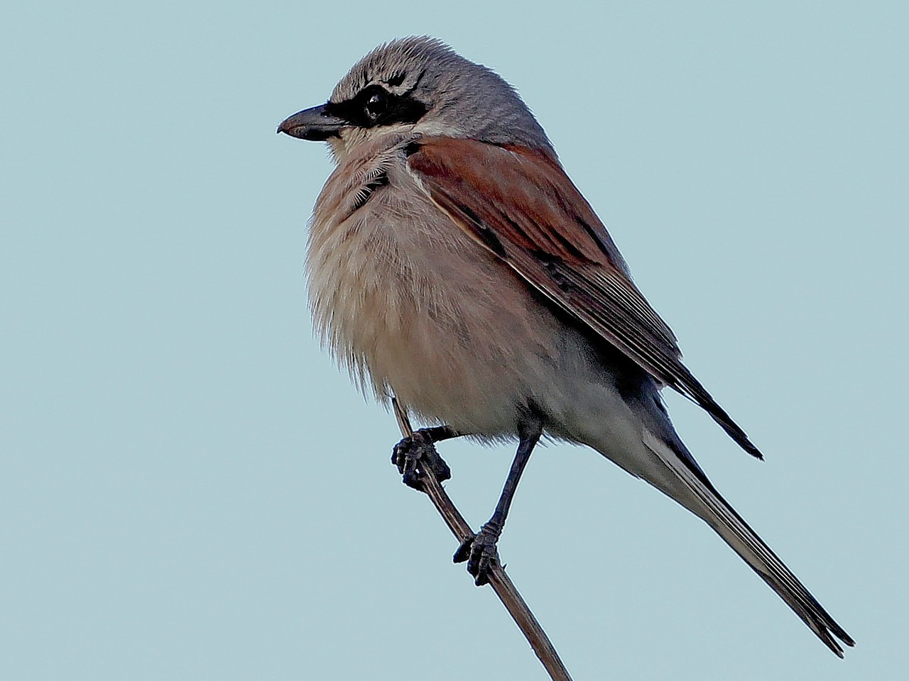 A red-backed shrike