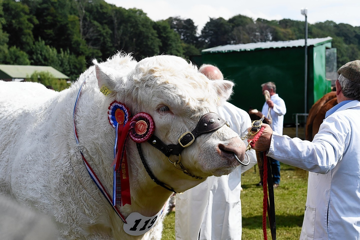 A British Charolais waits in the ring