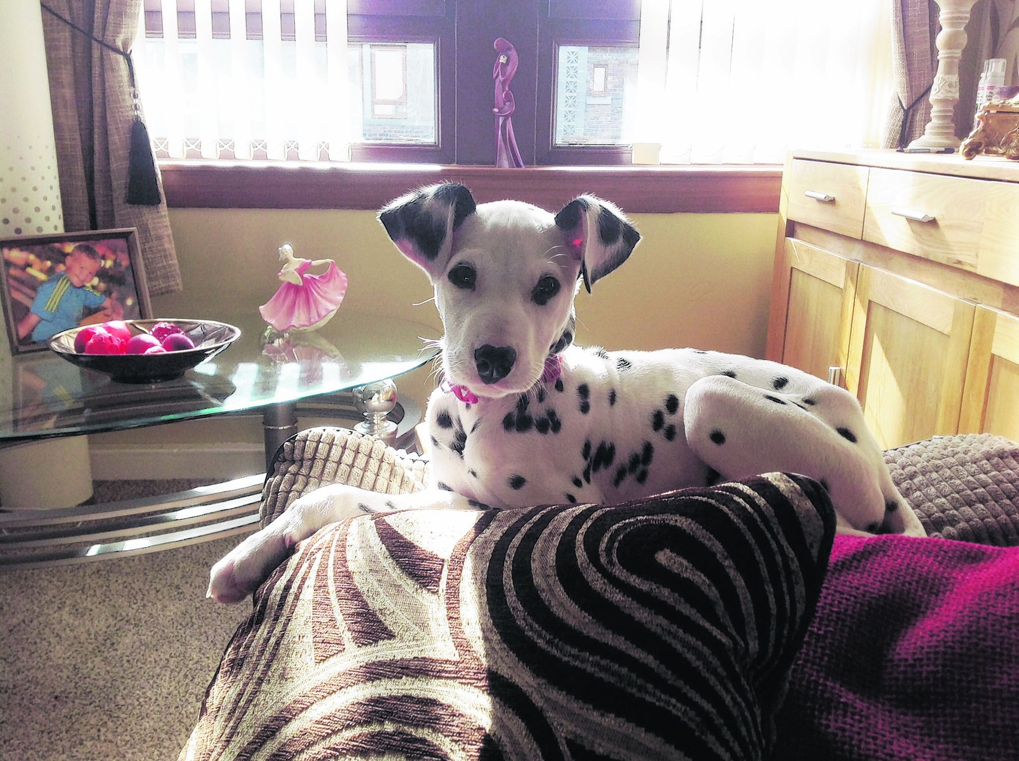 This is Rumbo, a four month old Dalmatian who lives in Portsoy with Steven Jamieson, Wendy Cormack and Jocky Jamieson.   Rumbo is our winner this week.