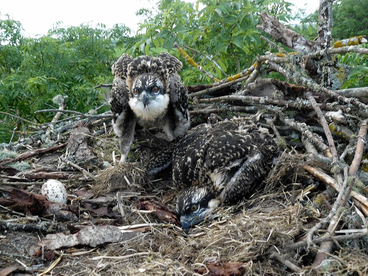 The ospreys at Balnagown Estate