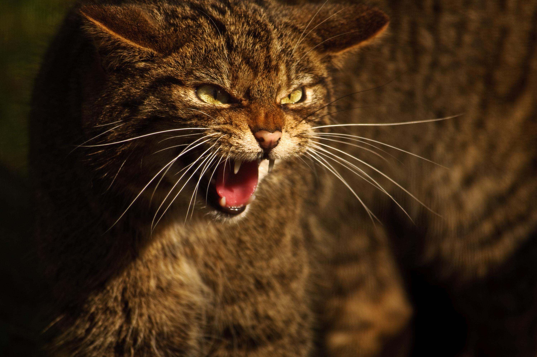 The Scottish wildcat is an endangered species. Credit: Adrian Bennett