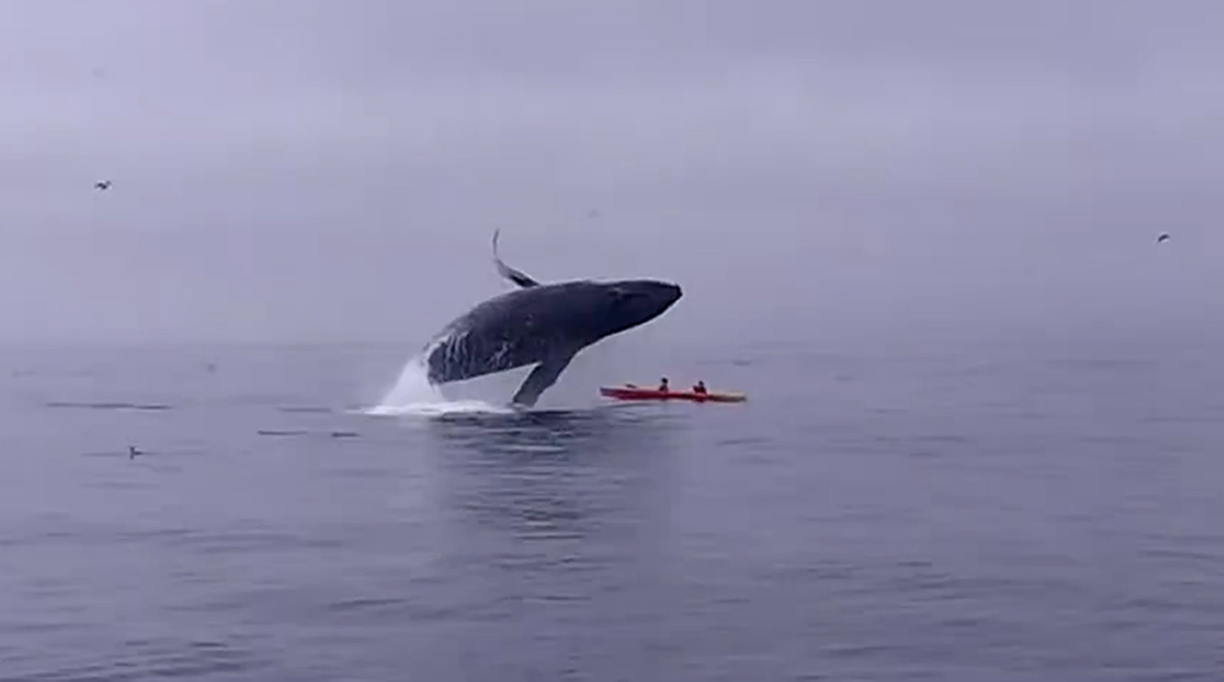 Humpback whale as it breaches on top of Kayakers.