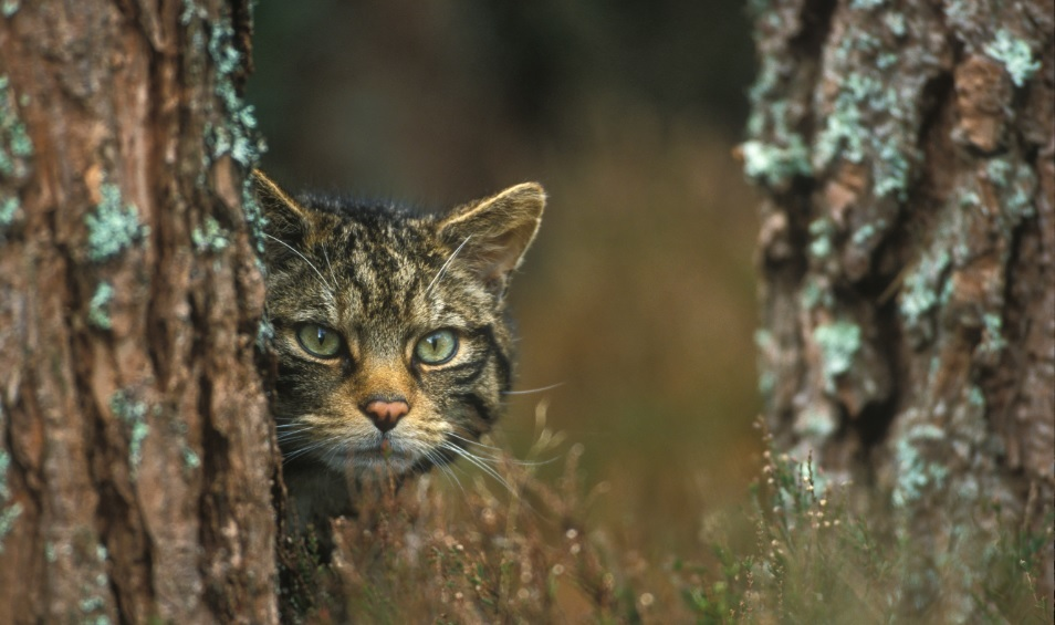 The iconic Scottish wildcat is at risk of extinction