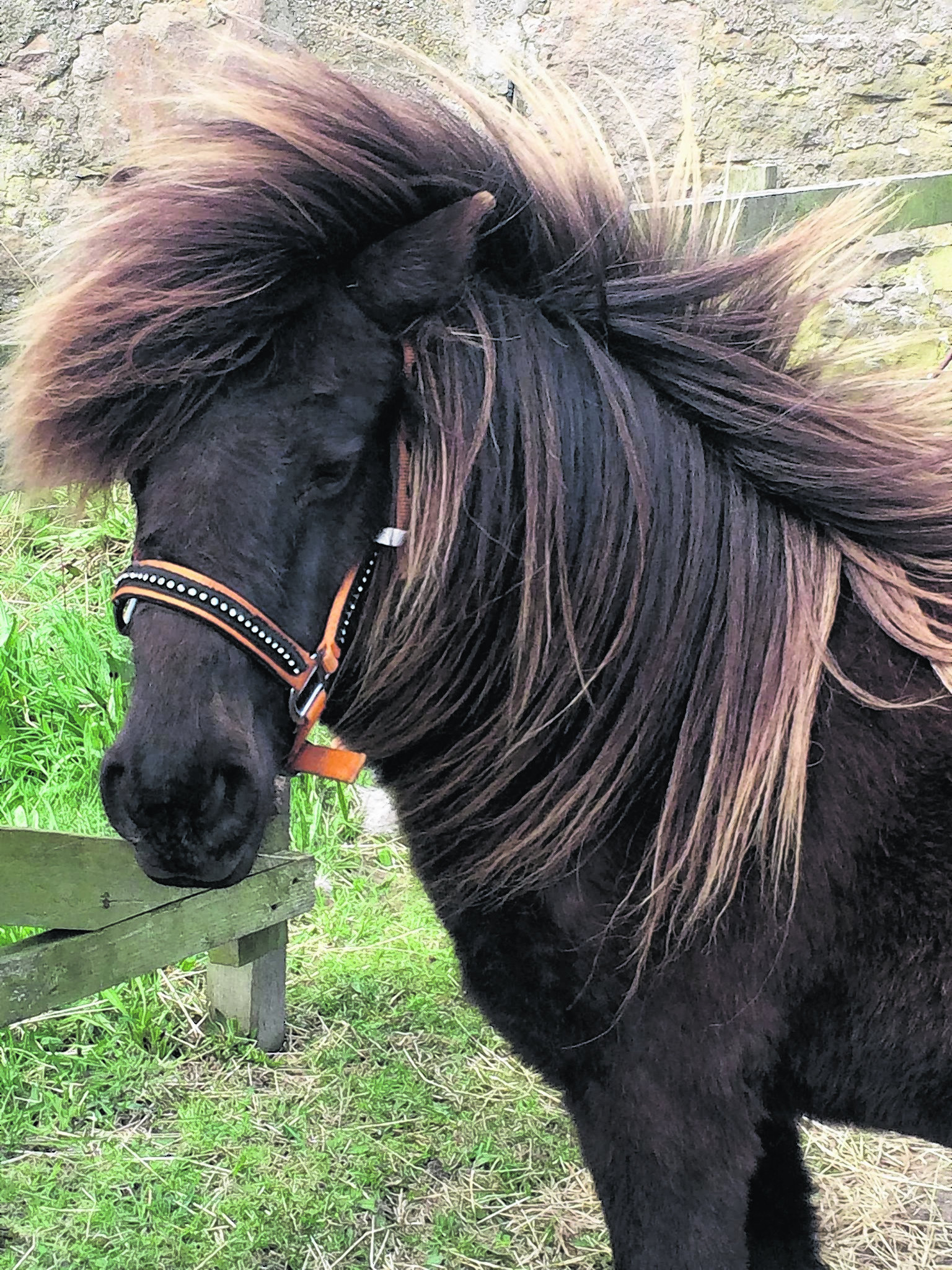 This is Crumpet, she is a six year old Shetland pony rescue.