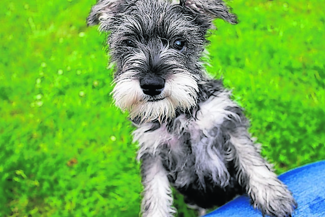 Tiggi the minuter schnauzer lives with Sandy and Betty Milne in Ythanban, Ellon