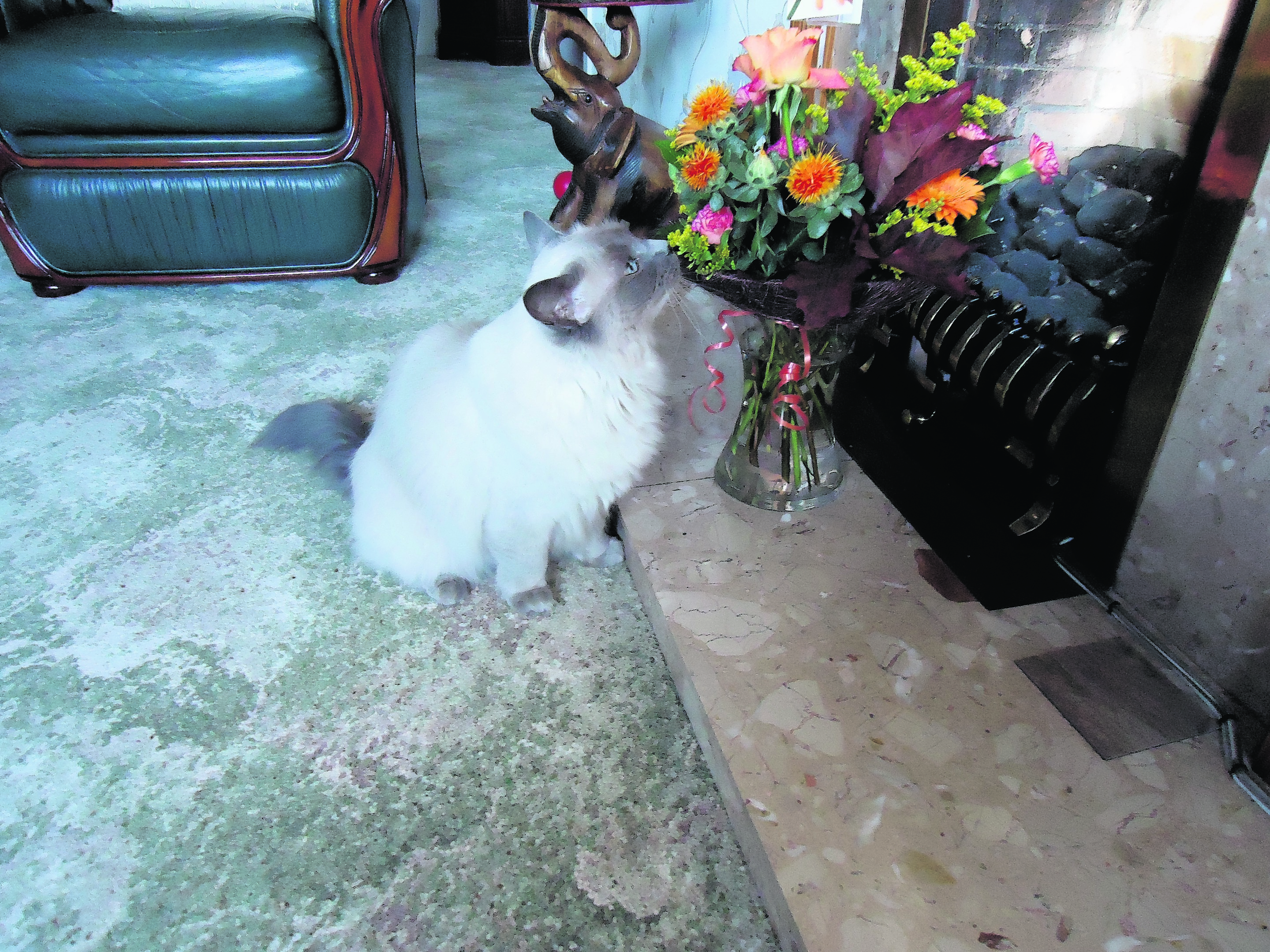 This is Panda Paws a ragdoll cat taking time to smell the flowers at her granny's house. She lives in Edinburgh with Gary Karen and Charlie Aitken.