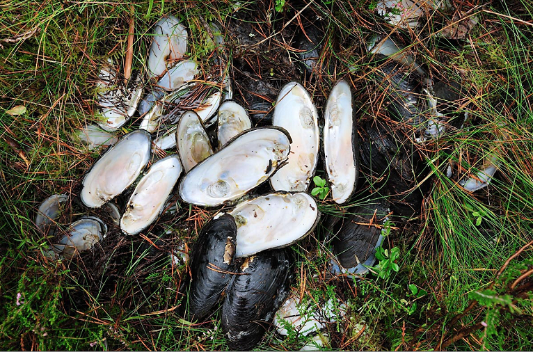 Freshwater pearl mussels serve a vital role in the River Moriston system