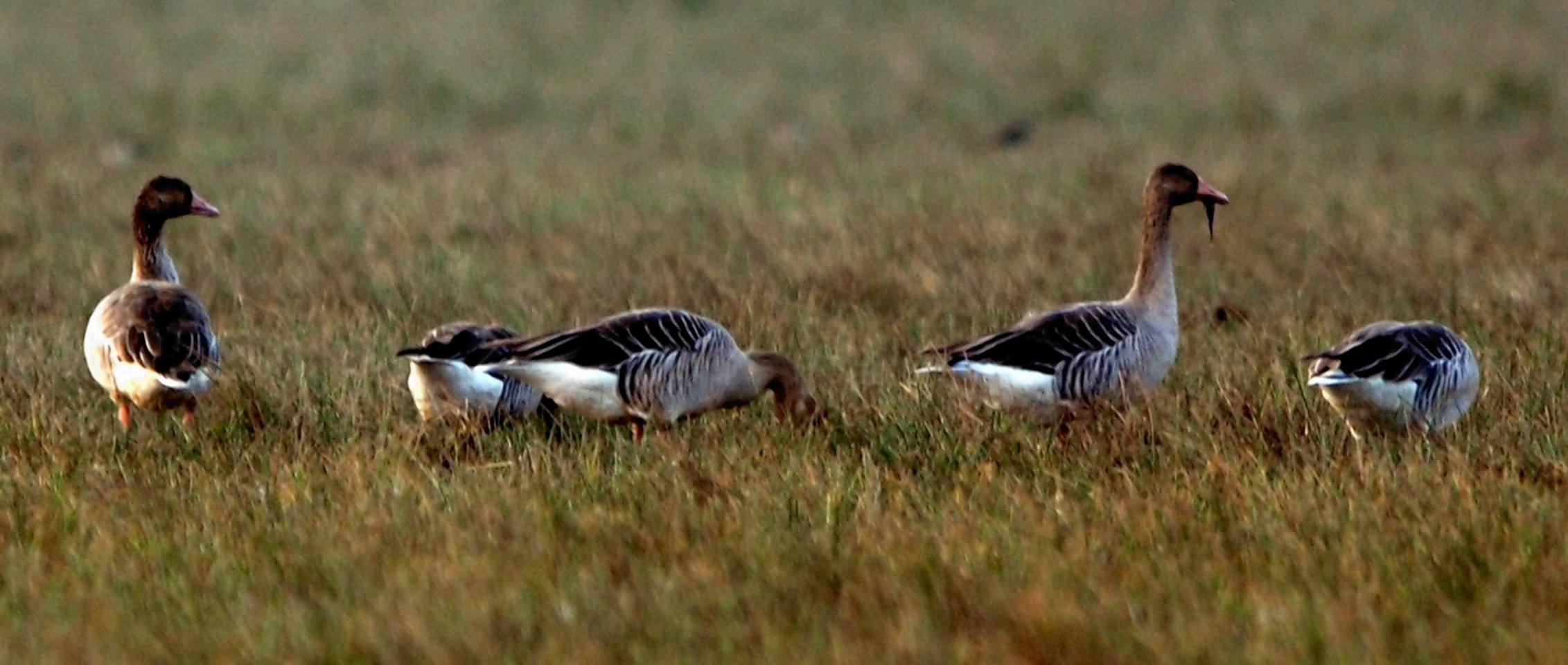 Residents have been invited to attend a meeting in Stornoway about goose management