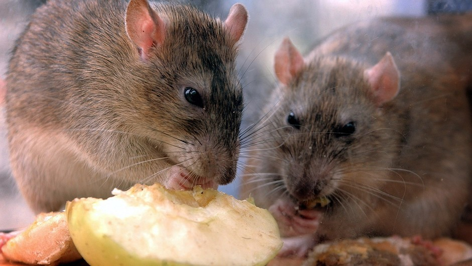Mice were fed different diets by the team at Aberdeen University