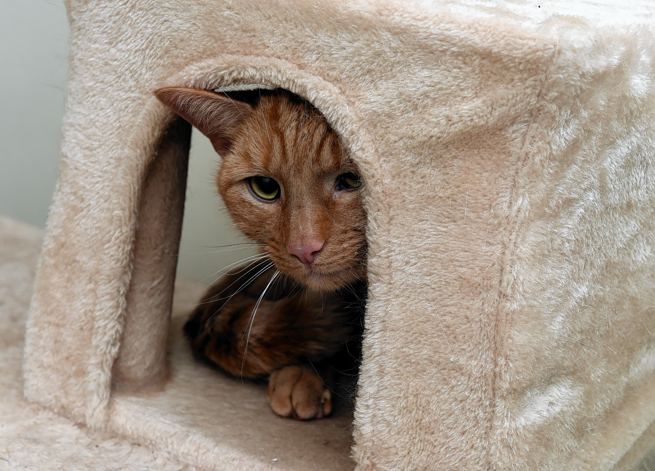Toffee the ginger tabby cat, who got stuck atop a block of flats in Aberdeen