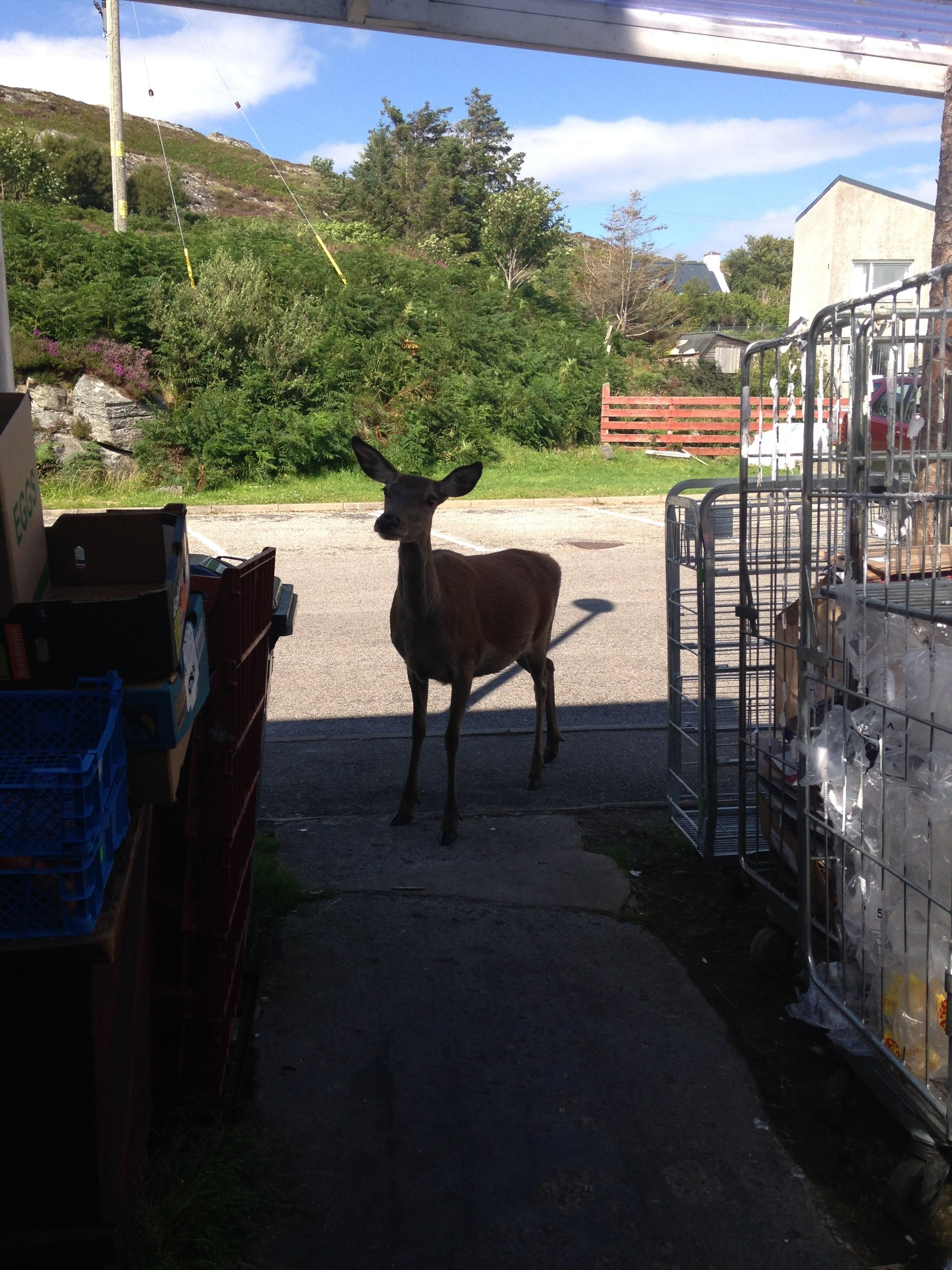 A deer makes a daring raid in the store area of a Highland shop