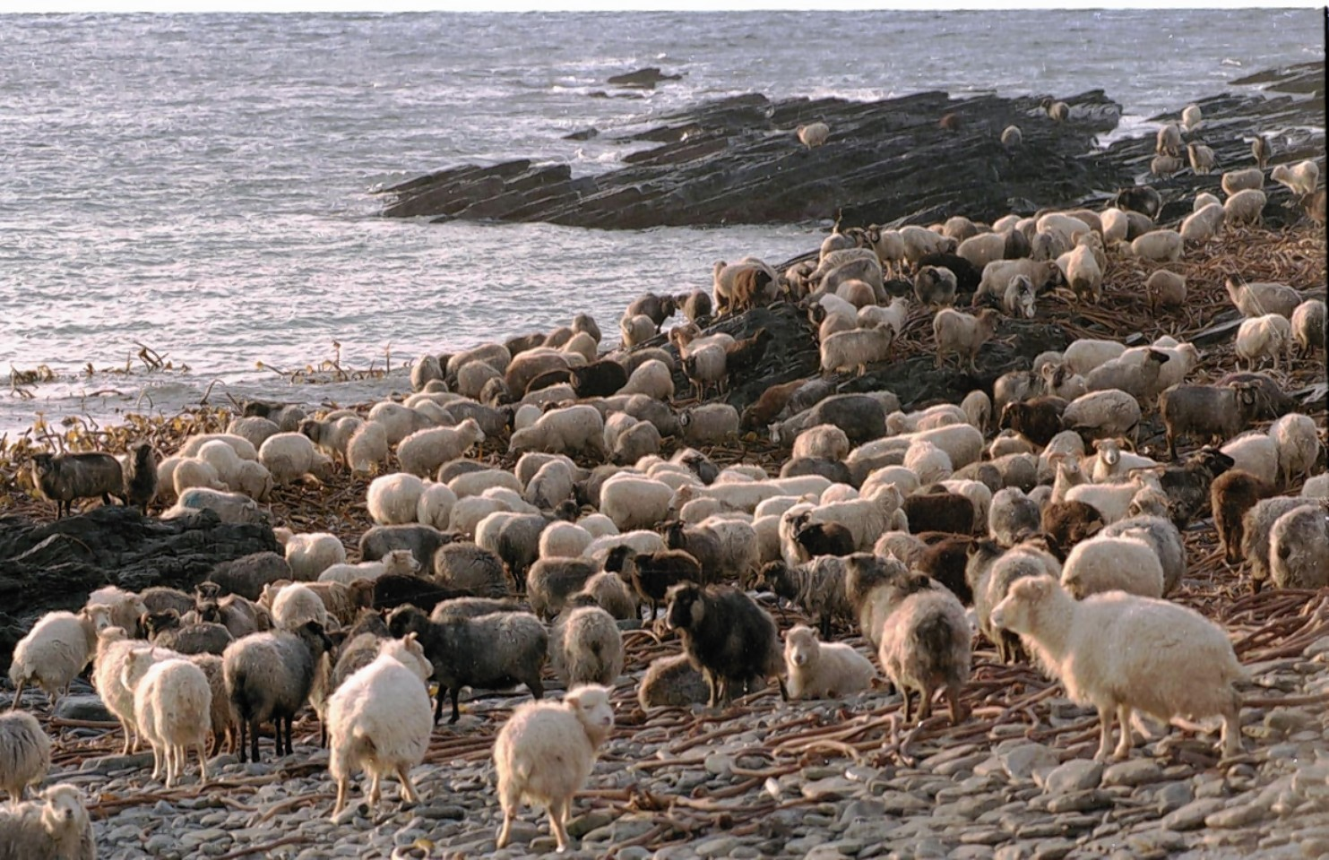 The rare North Ronaldsay sheep