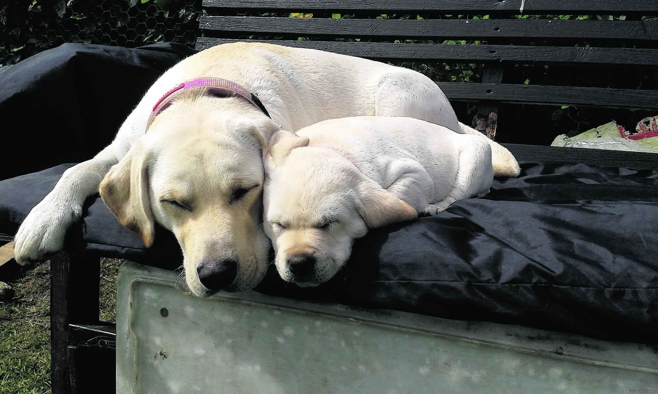 This is yellow Labrador mummy Brodie who lives in Turriff with John and Luan. She is snoozing with her daughter Penny who lives near Keith with Agnes and William, and she is also our winner this week.