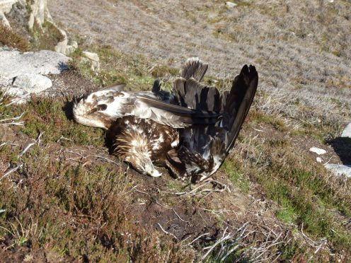 One of three poisoned golden eagles found on Sutherland grouse moor May 2010 (2)