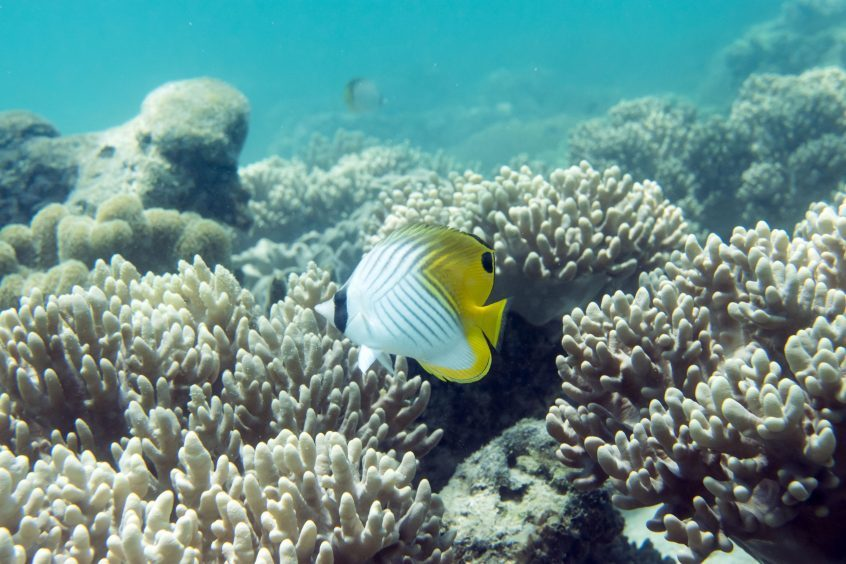 Butterfly fish on the Great Barrier Reef