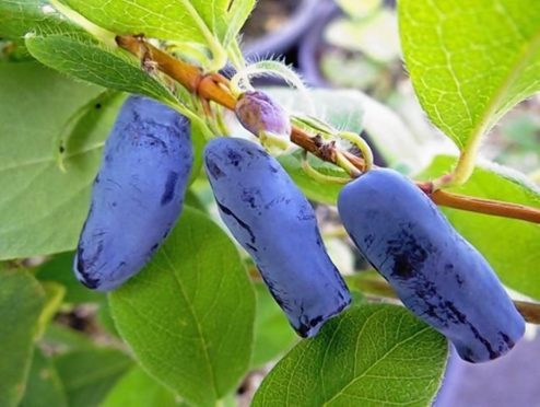 Honeyberries are being considered by more and more Scottish growers