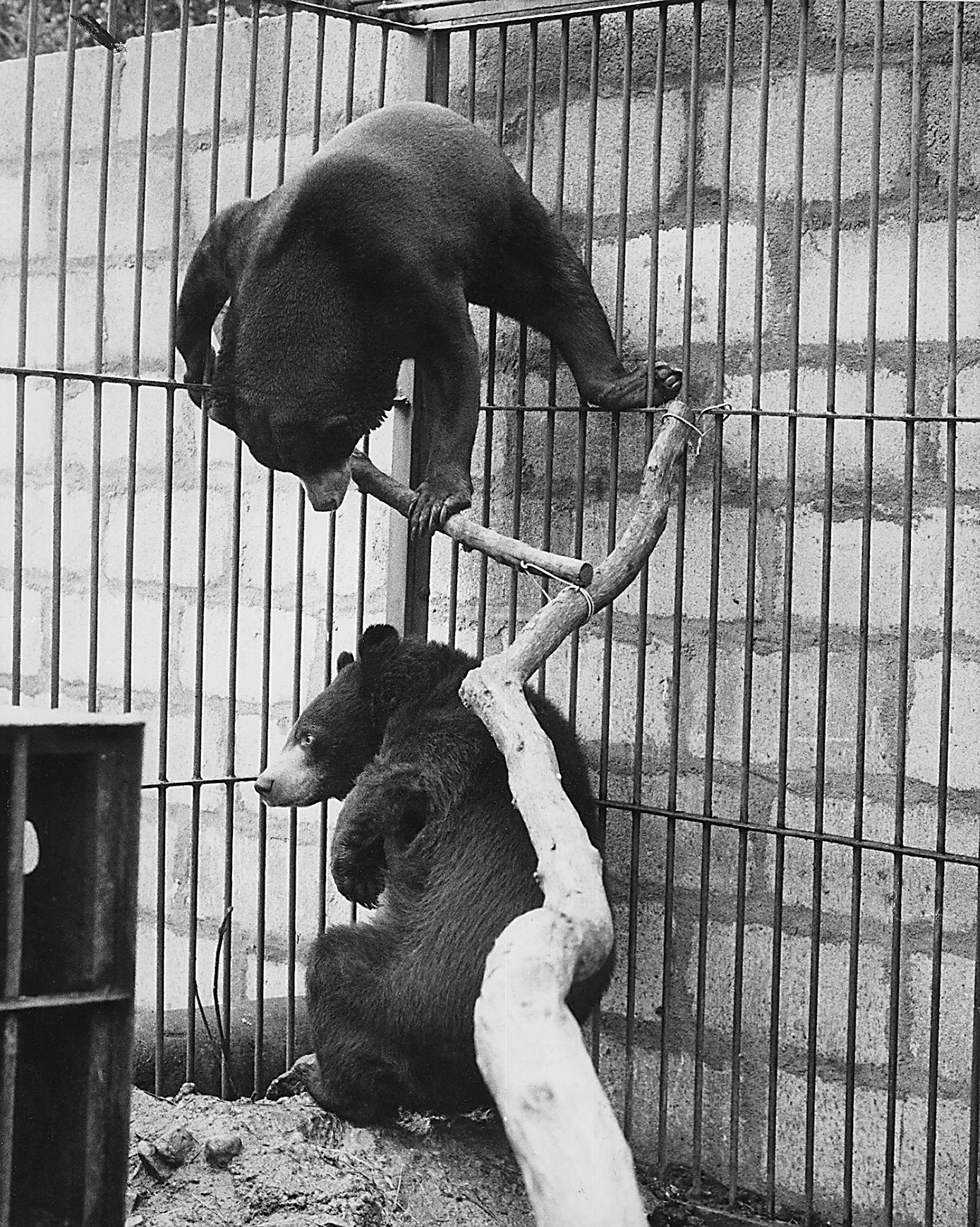 Bruno and Dainty the bears who it was hoped would produce cubs at Aberdeen Zoo.