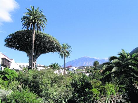 The 1,000 year old Dragon tree on Tenerife