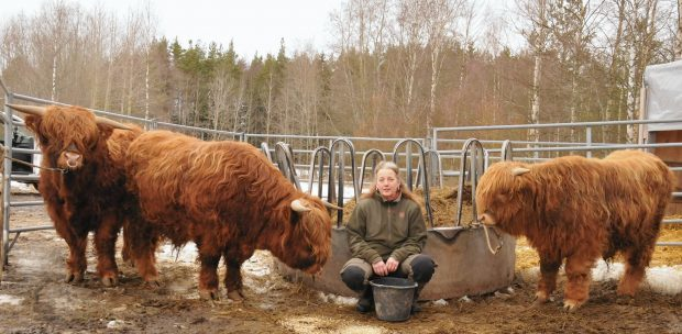The three Brue bulls have settled in their new home in Finland with breeder Riikka Palonen at her farm in Köyliö
