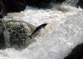 Salmon can be adversely affected by loud underwater noises