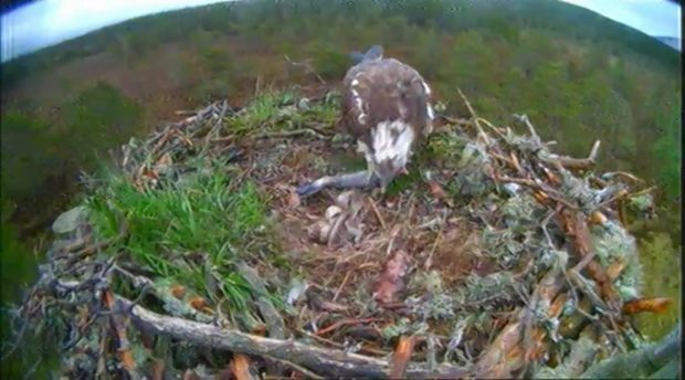 Female EJ and her new partner George produced three eggs last month at RSPB Scotland's Loch Garten reserve in the Cairngorms.