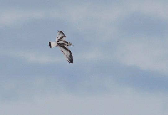 Baby gull in flight - credit Morwenna Egan