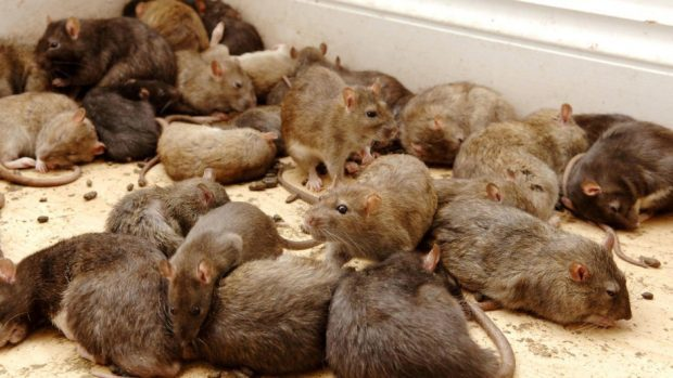 The local authority's pest control team now responds to reports of rodents on a near weekly basis.