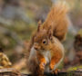 The Reds Return appeal, by Trees for Life, aims to increase the number of the elusive creatures by creating of eight woodlands areas, providing a safe and competition-free space for them to live.
