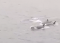 Orcas spotted from the ferry between Lerwick and Aberdeen
