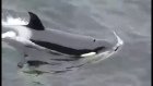 Killer whales hunt seals off Shetland