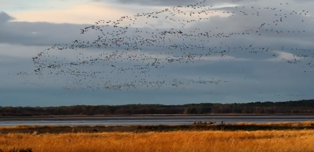 Geese flying over Findhorn Bay.