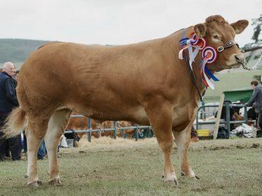 Limousin cow Poolehall Iris stood beef interbreed champion