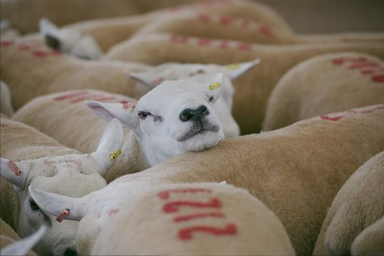 38 rams and 26 AI sires are sought