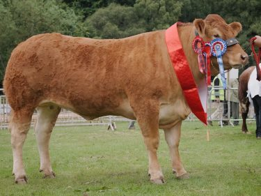 Aileen Ritchie's Limousin champion