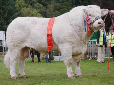 The Charolais champion