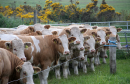 Spring calving is becoming more popular