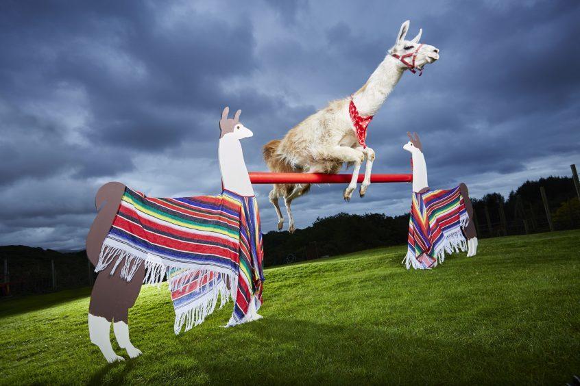 Highest Jump By A Llama by Caspa in Porthmadog, Wales