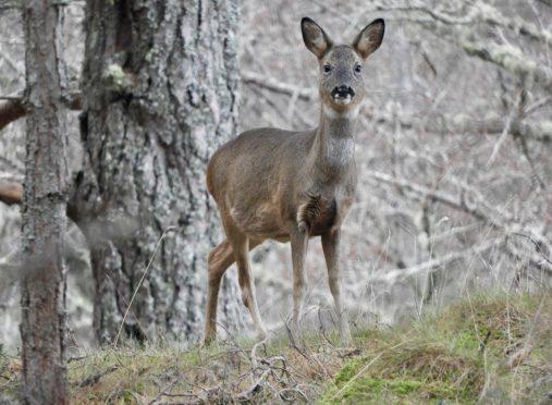 A roe deer at Balintober, Glenmuick Photograph: Gillian Cassie, Ballater