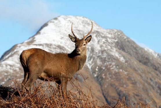 Red deer graze in Glen Etive in the Scottish Highlands, following the end of the rutting season.