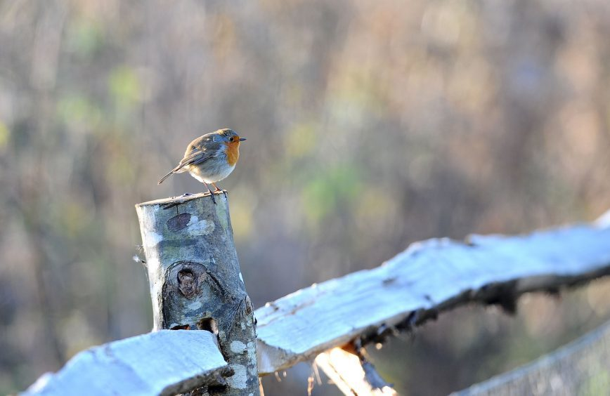 A Robin sits on a frosty fence post in the early morning sun at the Wildfowl & Wetlands Trust nature reserve in Arundel, West Sussex.