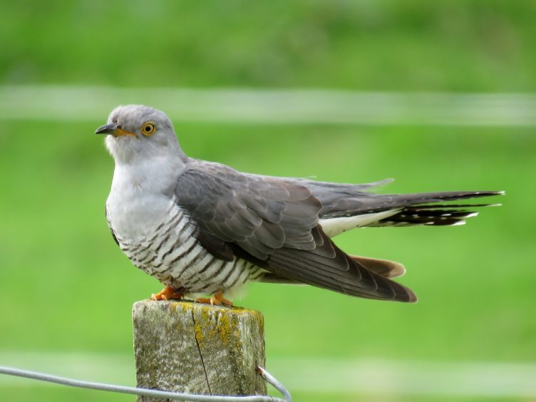 Cuckoo on the lookout. Picture courtesy of reader Val Ross, from Beauly