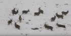 About a dozen red deer stags could be seen in the blizzard.