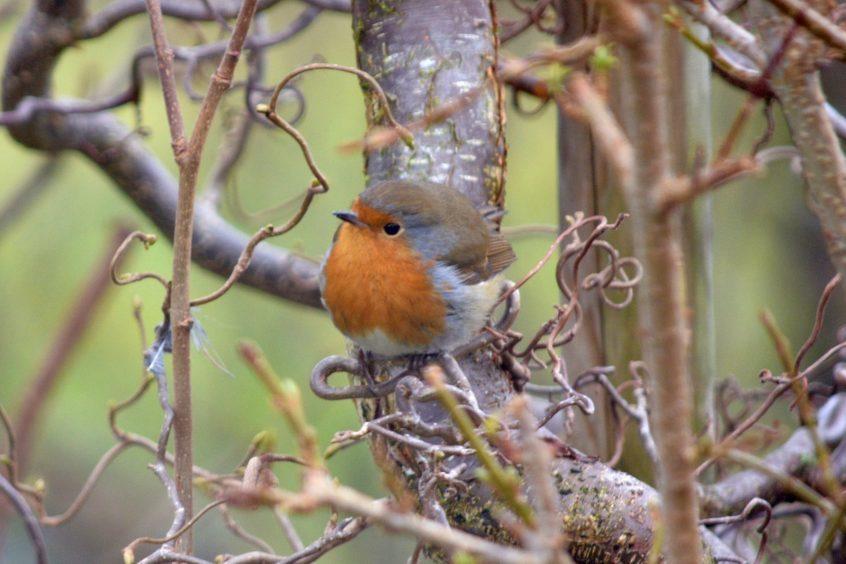A robin. Photograph: Hazel Thomson, Elgin