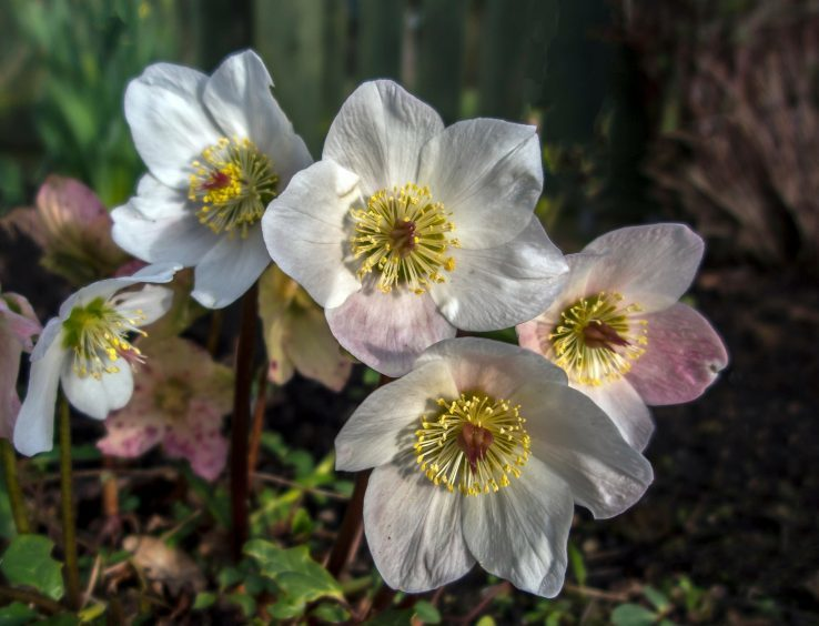 Hellebores. Picture courtesy of reader Judith McIntyre, Fochabers