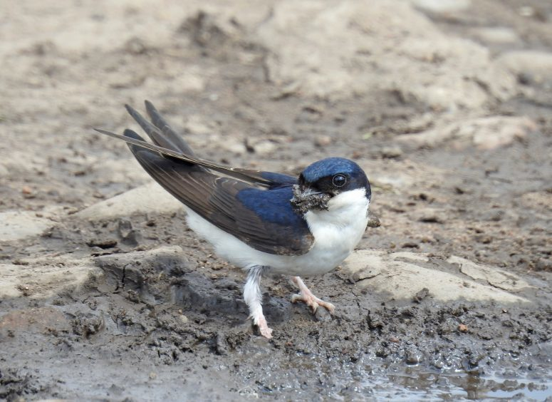 A house martin gathering mud for nest building at Cromarty in the Black Isle. Picture courtesy of reader Sandy Sutherland