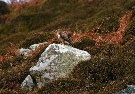 These buzzards can be hard to spot – near Tolsta Beach, Lewis. Picture courtesy of reader Morris Macleod