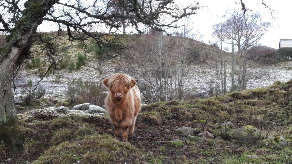 A Highland cow near Loch Duntelchaig, Inverness. Picture courtesy of reader Natalie Bodiam