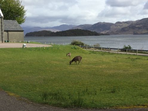 Sika deer enjoying a fresh bite near Loch Morar in Lochaber. Picture courtesy of reader Ann Gillies, Arisaig