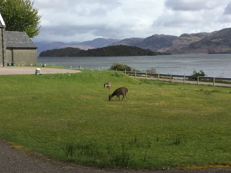 Sika deer enjoying a fresh bite near Loch Morar in Lochaber. Picture courtesy of reader Ann Gillies, Arisaig