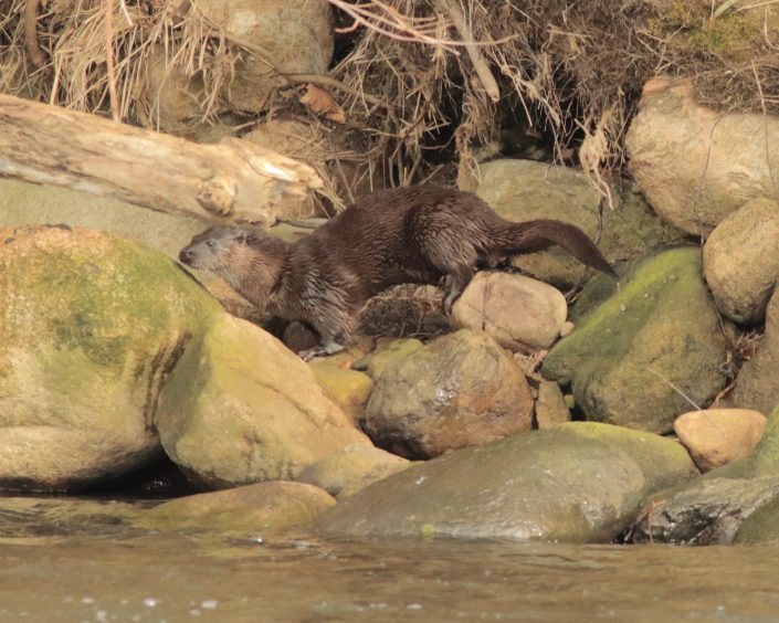 An otter at the Bridge of Don. Picture courtesy of reader Dougie Gauld, Peterhead